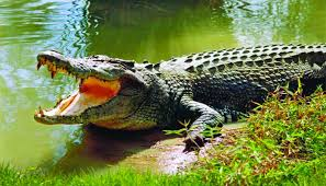 Crocodile Juliet lays 52 eggs at Karamjal Wildlife Breeding Centre