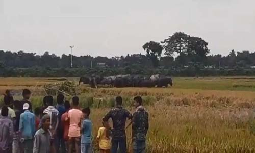 Wild elephants damage crops in Kurigram