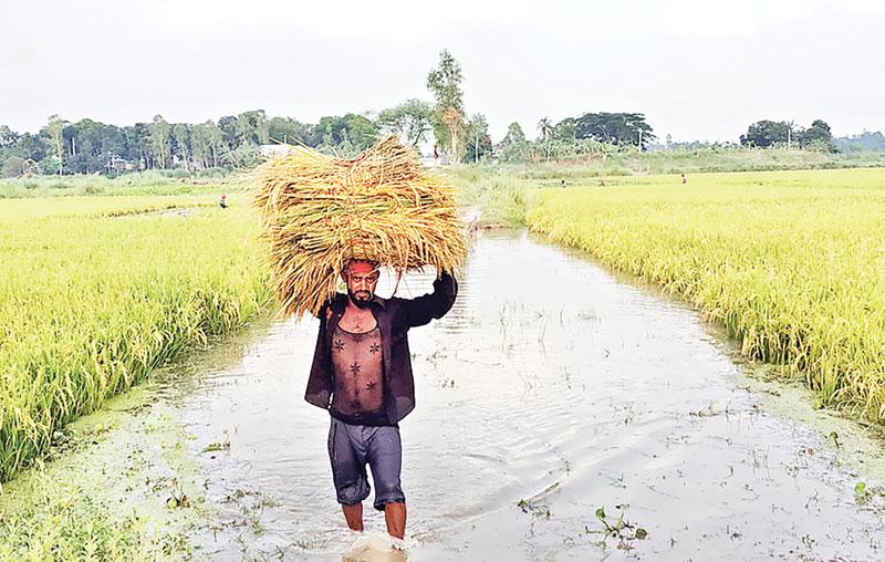 Fresh water hampers paddy harvest at Shibalaya