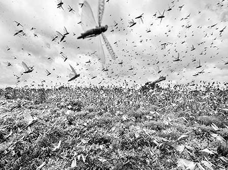 No more locust panic in Bangladesh