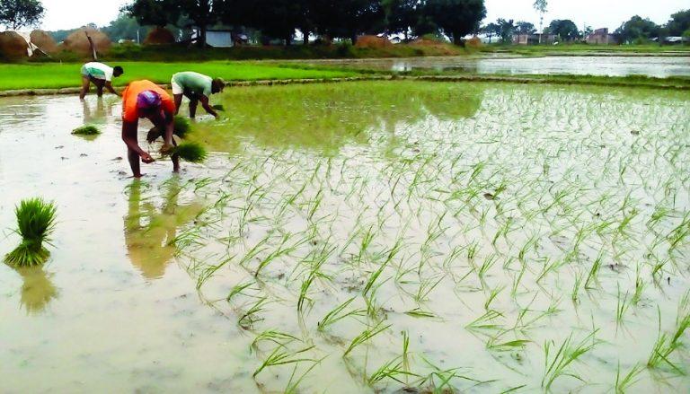 Rain brings blessings for Aman farmers in Tanore