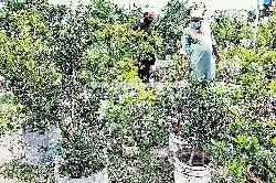 Tree fair in doubt as pandemic casts pall on nurseries