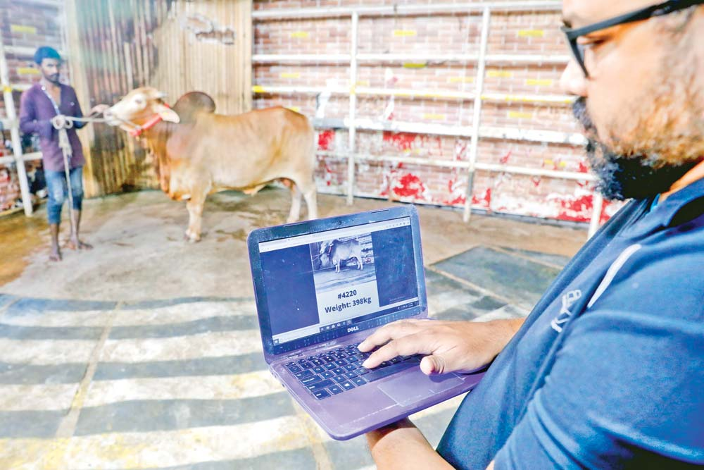 Work is underway at Meghdubi Agro, a cattle farm in Dhaka's Bosila, to post online ads for sale as many of the customers are expected to buy sacrificial animals online due to the corona pandemic for the Eid-ul-Azha. The photo was taken on Saturday.	PHOTO: OBSERVER