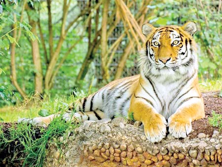 Tiger, the Sundarbans and our responsibilities