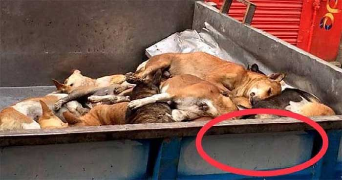 Photos of stray dog removal are fake, says DSCC