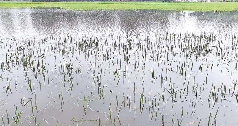 1,150 ha Aman fields submerged at Fulbari, Manda