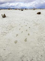 12,000-yr-old human footprints found in New Mexico