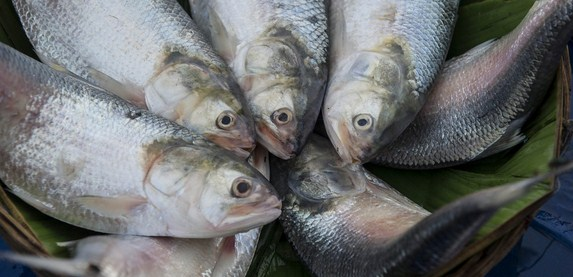 Multiple teams working for conservation of Hilsa