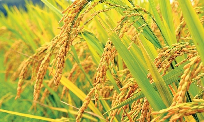 More 50,000 hectares land to come under boro cultivation