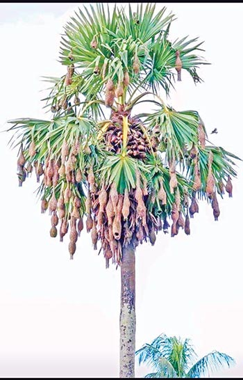 Weaver birds disappearing from Dumuria