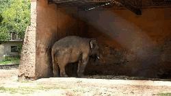 Kaavan, the world's loneliest elephant, is finally going free