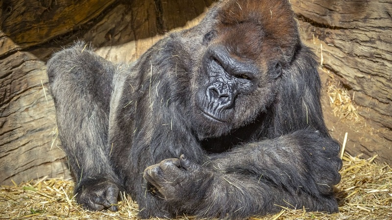 A gorilla relaxing in San Diego Zoo Safari Park where Covid has been detected in the troop