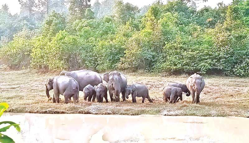 Wild elephants grazing in Bangabandhu Sheikh Mujib Safari Park.photo: observer