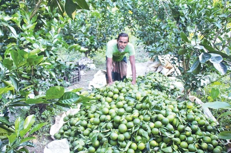 Abu Hossen's malta orchard in Bhandaria.photo: observer