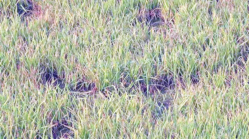 A cold-damaged Boro seedbed in Durgapur Upazila.	photo: observer