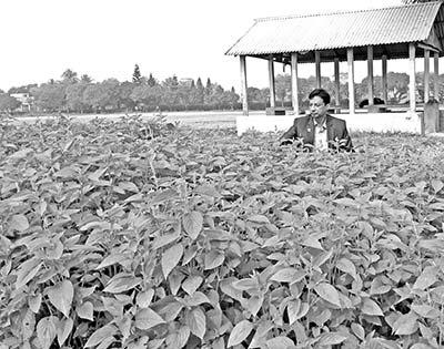 Agronomic feasibility of growing Chia in Bangladesh
