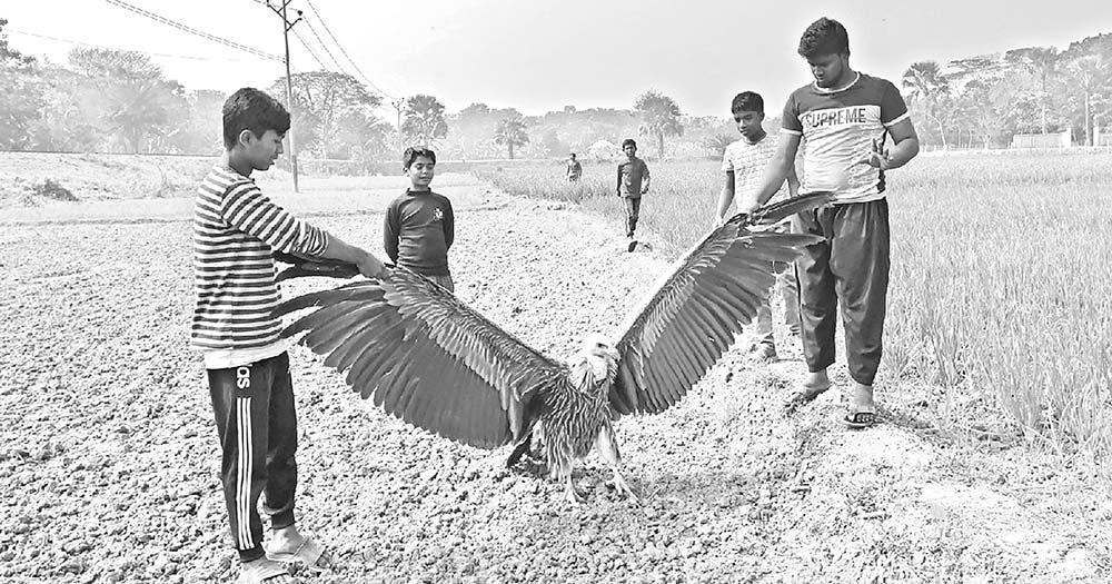 Youths rescue rare vulture in Faridpur