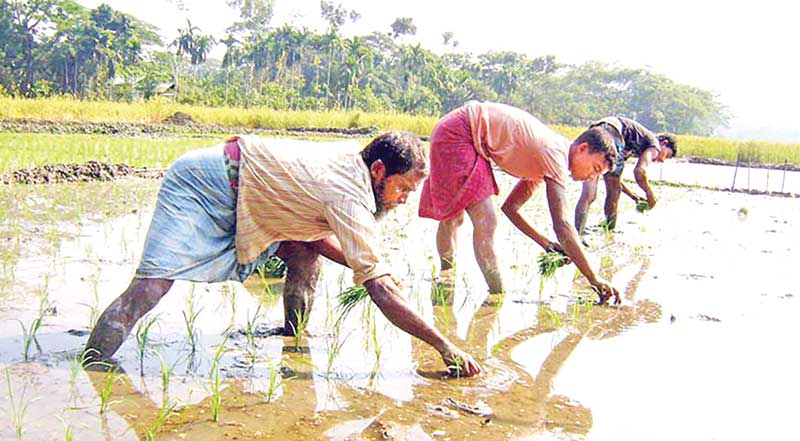 Farmers transplanting paddy saplings in a cropland in Barishal.	photo: observer