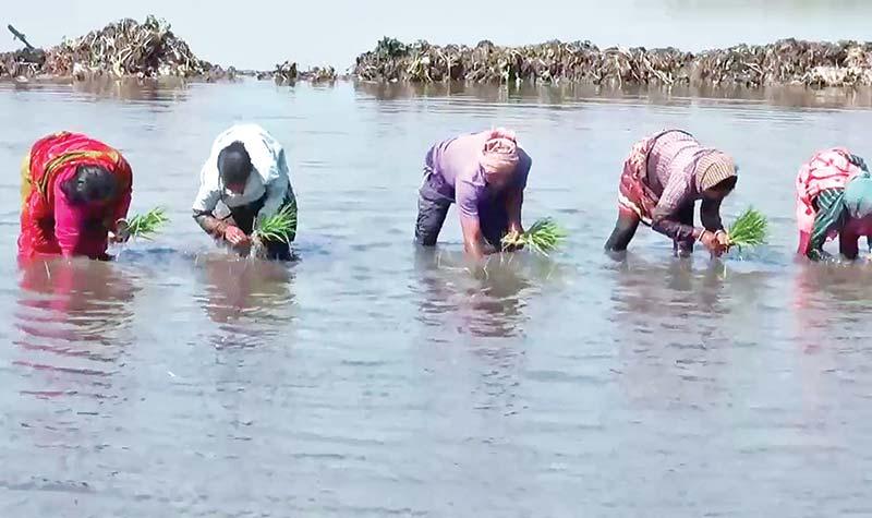 Paddy saplings being planted in stagnant water in Singa Beel. photo: observer