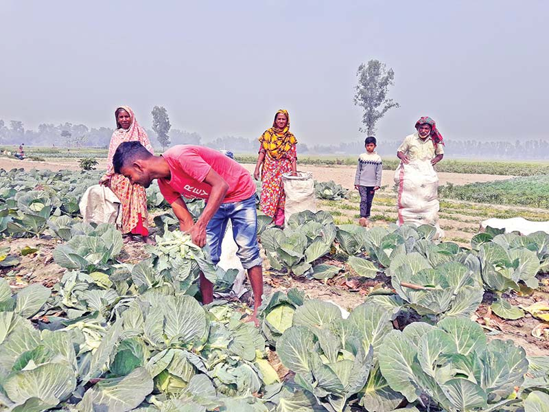 The photo shows some farmers collecting cabbage at a field in Birampur Upazila.	photo: observer