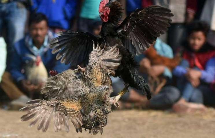 © Biju BORO Cockfights are banned but still common in rural areas of India