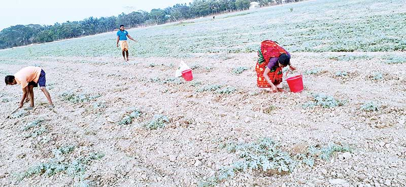 Watermelon plants dying due to water crisis in Bajuar Kocha area of Dacope Upazila.	photo: observer