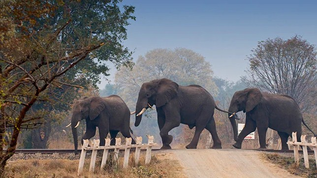 Loco pilots halt train to allow elephants to pass