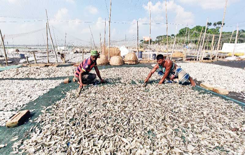 The photo shows workers taking care of dry fish in Lalpur Village of Ashuganj.photo: observer