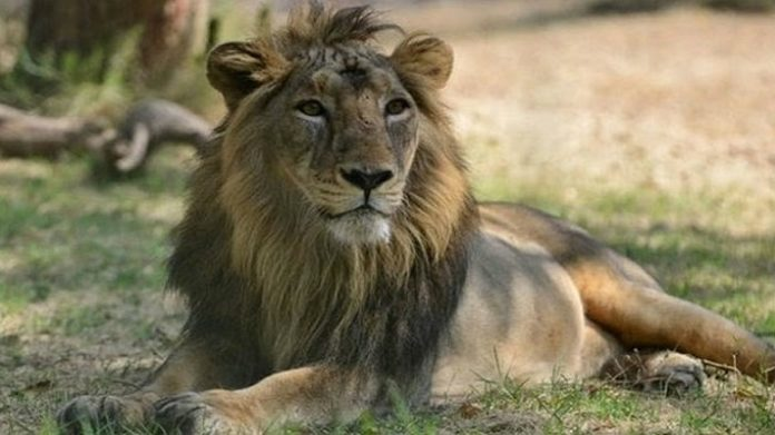 8 Asiatic lions in Hyderabad tested SARS-Cov2 positive