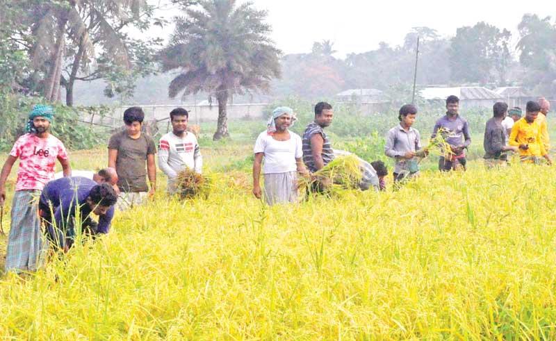The photo taken on Wednesday shows devotees of Sri Sri Thakur Anukul Chandra voluntarily cutting paddy.photo: observer