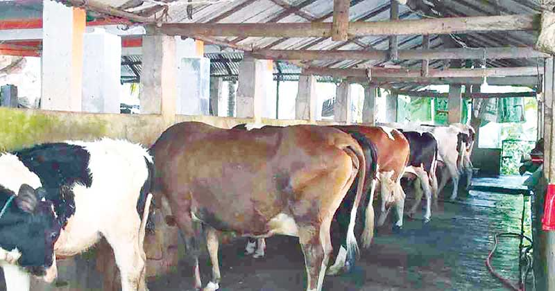 A cattle firm in Satkhira in southwest Bangladesh.