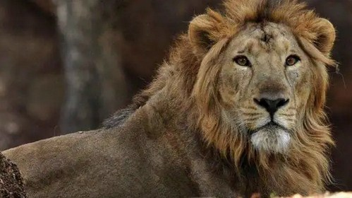 Four lions in Chennai Zoo infected with Coronavirus