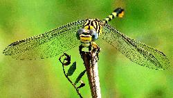 Dragonflies losing wing color because of climate change