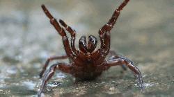 Aussie scientists see life-saving potential in spider venom