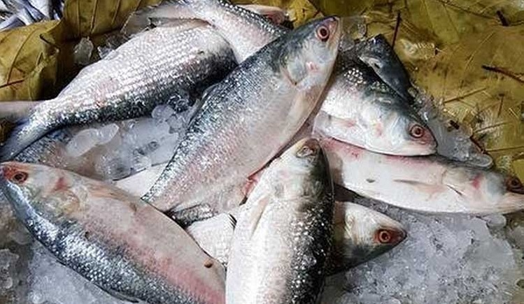 Hilsa catching starts at midnight in sea