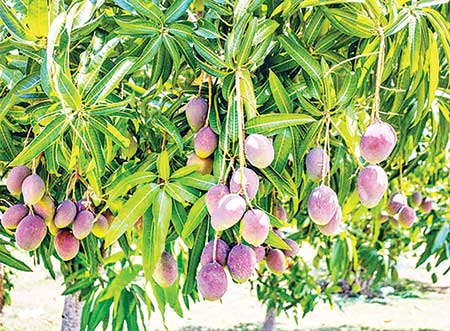 Panchagarh potential for farming world's most expensive mango
